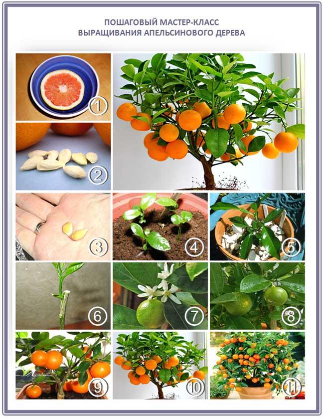 Выращиваем мандарины