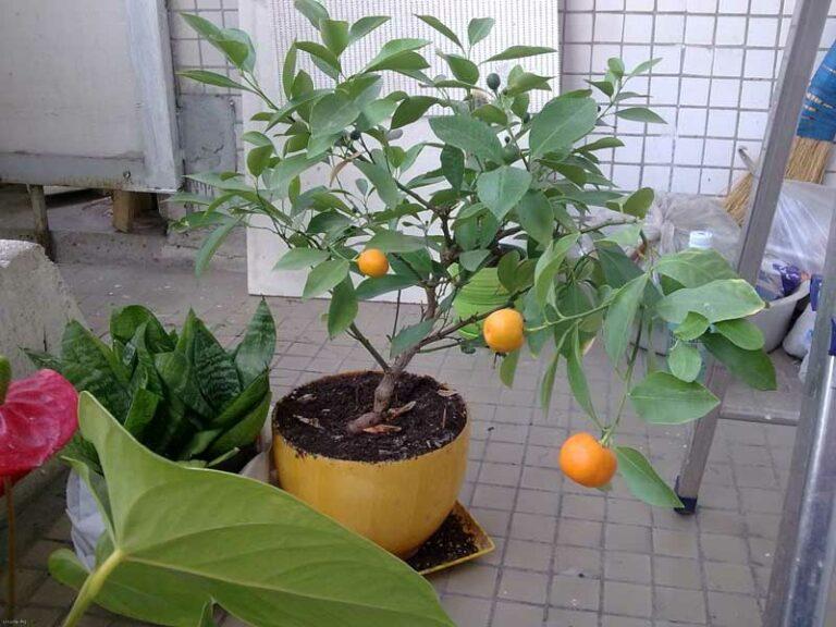 какой нужен горшок чтобы выращивать мандарин
