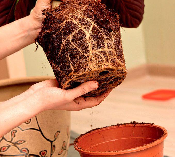 Как вырастить мандарин из косточки в домашних условиях в горшке Перевалка