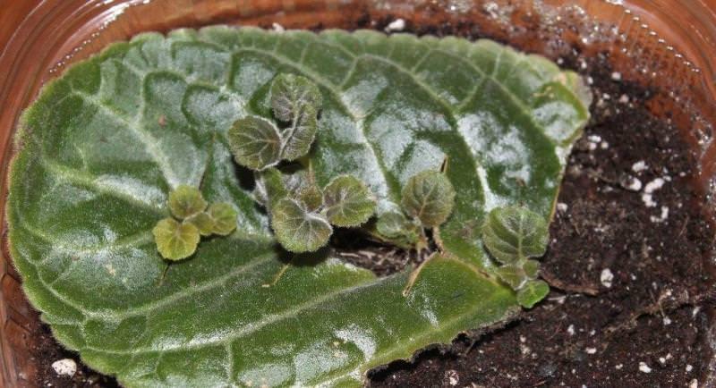 Как вырастить глоксинию из листа