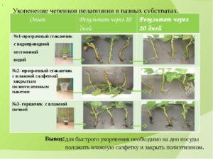 Королевская пеларгония уход и размножение в домашних условиях