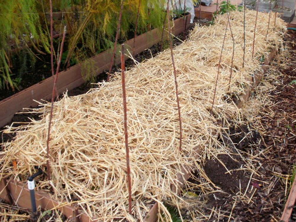 Как осенью посадить землянику правильно