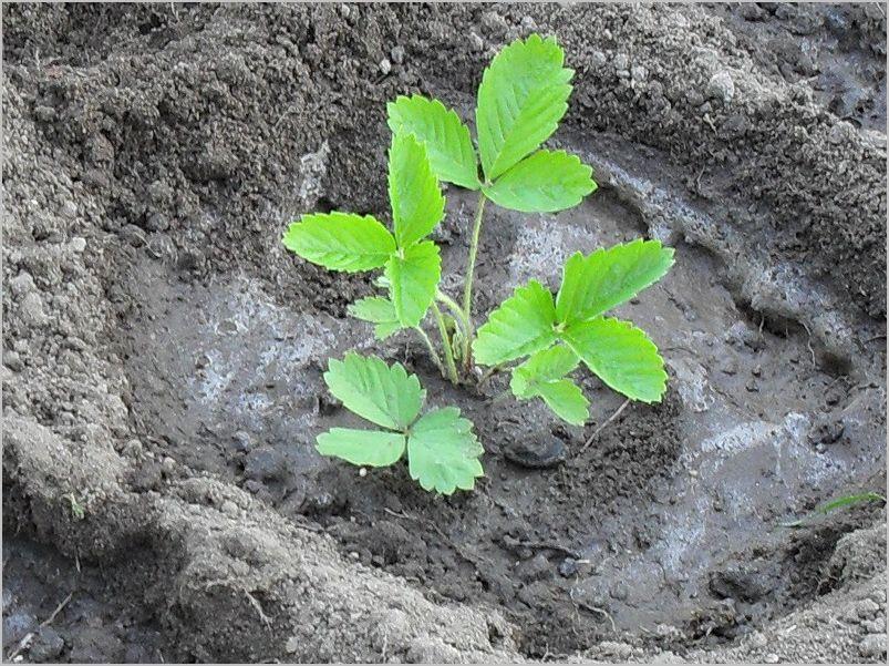 Как осенью посадить землянику