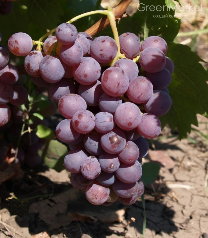 Как вырастить виноград дома в горшке