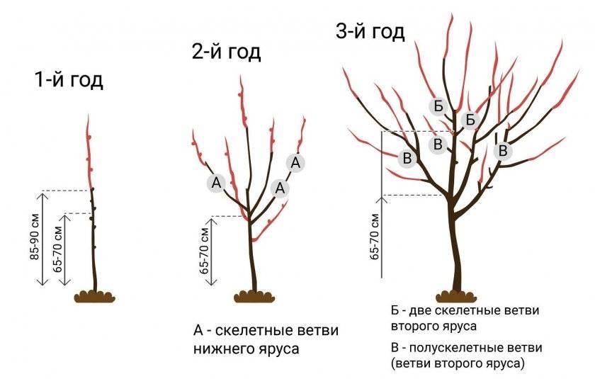 Черешня формирование кроны молодого дерева