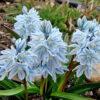 Пушкиния цветок посадка и уход