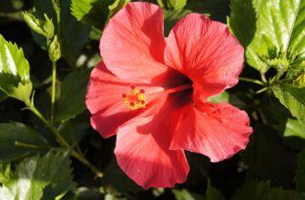 Для обильного цветения растения необходимо изначально перед посадкой позаботиться о плодородии почв.