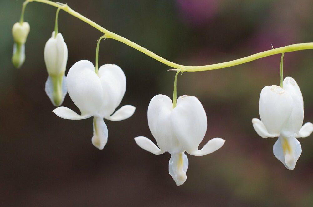 Дицентра размножение и выращивание в саду