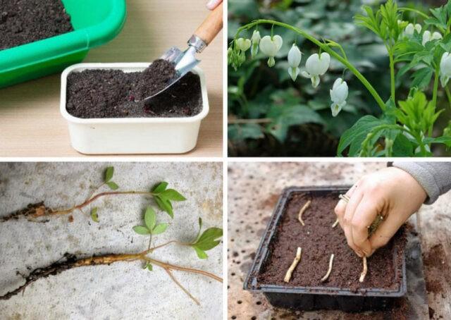Дицентра размножение и выращивание