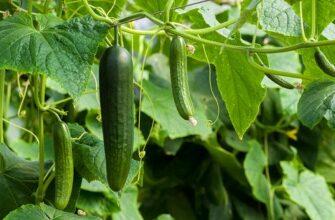Огурцы как вырастить хороший урожай
