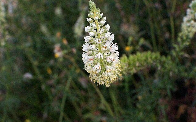 Резеда душистая - выращивание из семян