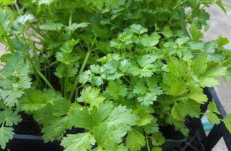 Способ выращивания кинзы рецепты народных средств из кориандра
