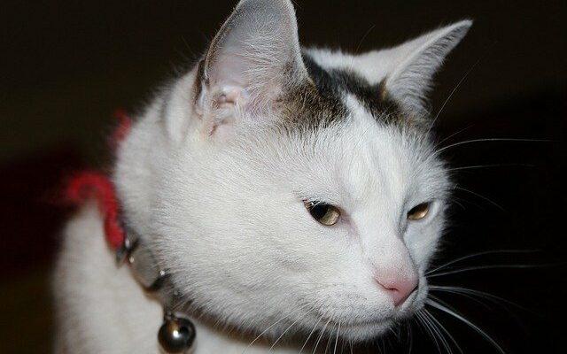 Как быстро вывести блох у кошки