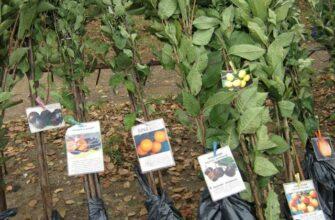 Как выбрать саженцы плодовых деревьев при покупке