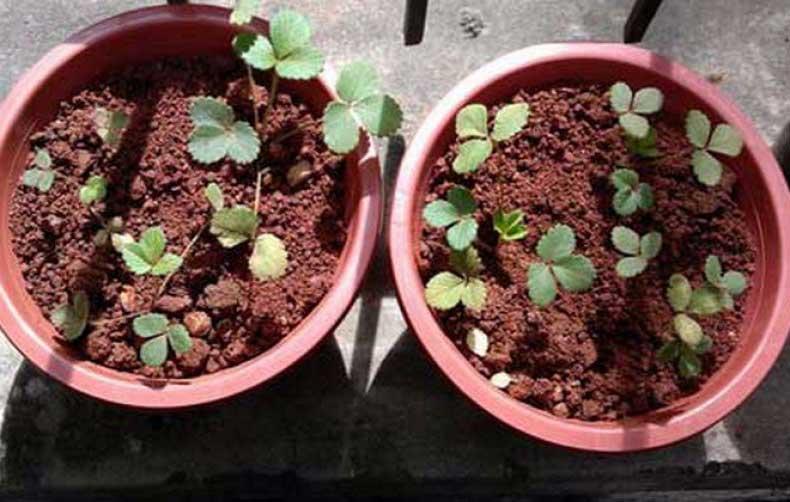Как вырастить клубнику на балконе из семян