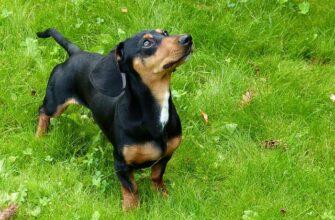 Такса собака описание породы и характера