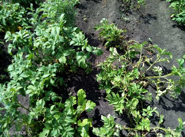 Выращивание клубники фото уход и борьба с вредителями