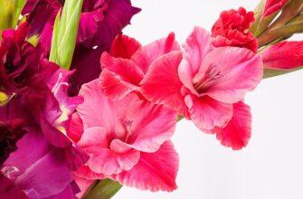 Цветы гладиолусы посадка и уход фото
