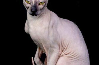 Сфинкс кошка характер достоинства и недостатки уход