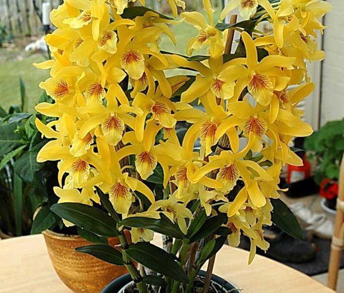 Орхидея уход и размножение в домашних условиях