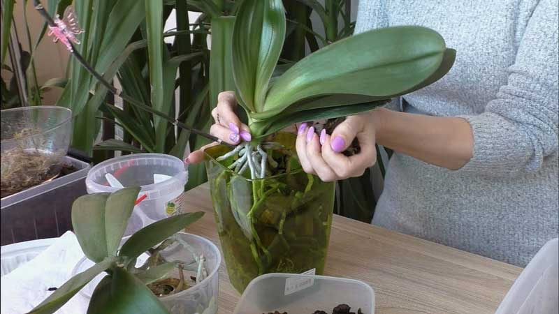 Орхидея уход в домашних условиях размножение