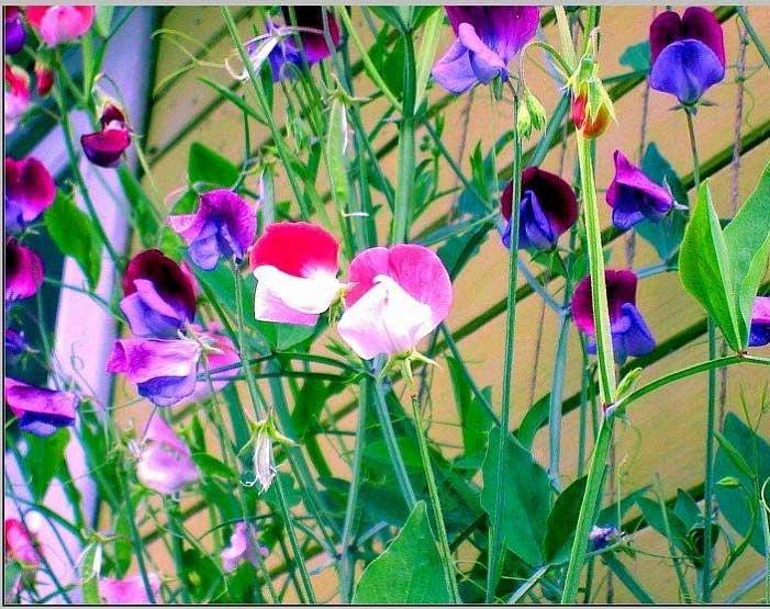 Вьющееся растение для сада фото с названиями