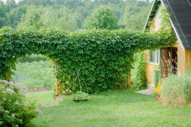 Вьющееся растение для сада