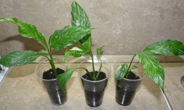 Как вырастить спатифиллум в домашних условиях