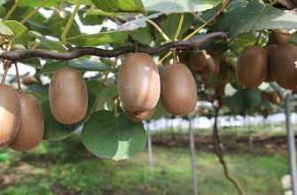 Киви - пищевая ценность свойства и витамины