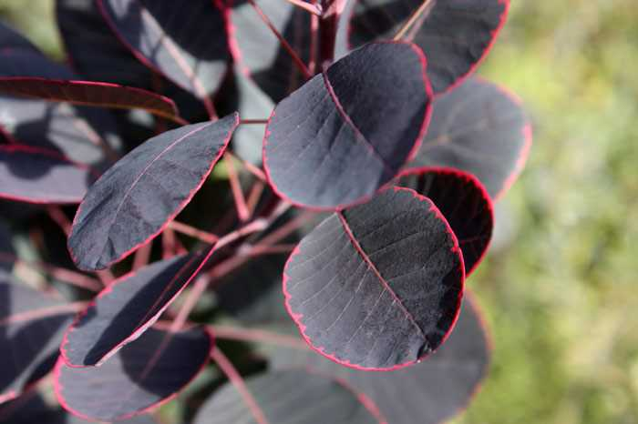 Листья скумпии