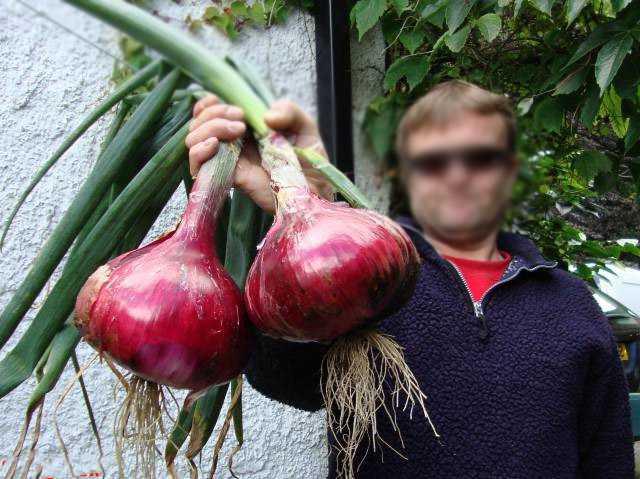 Как вырастить большой лук