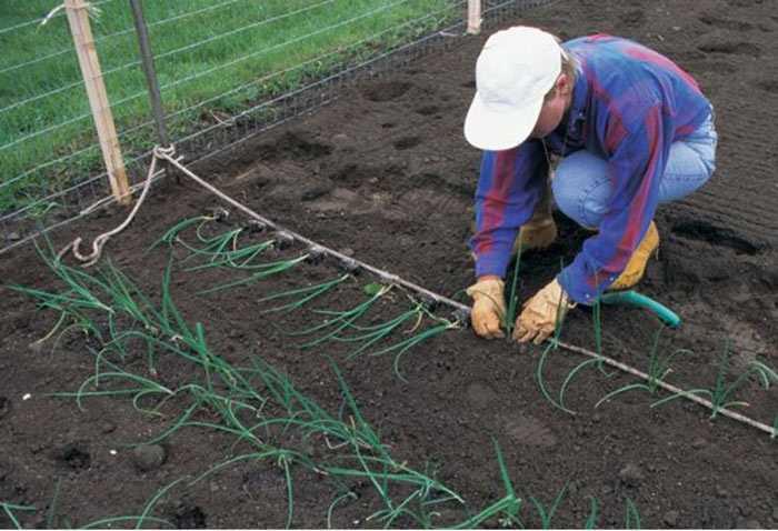 Выращивание луа-гиганта
