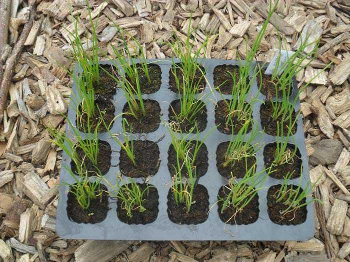 Как вырастить большой лук-порей