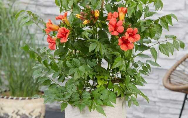 Лиана цветущая домашняя