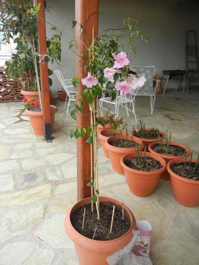 Цветущие лианы уход и размножение