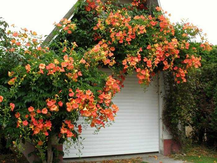 Лиана цветущая