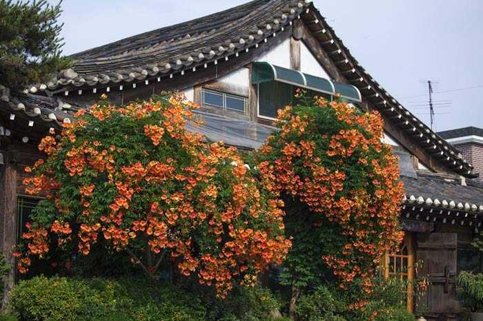 Лиана цветущая садовая